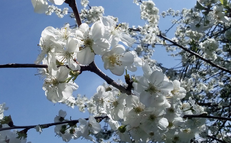 ciliegioinfiore